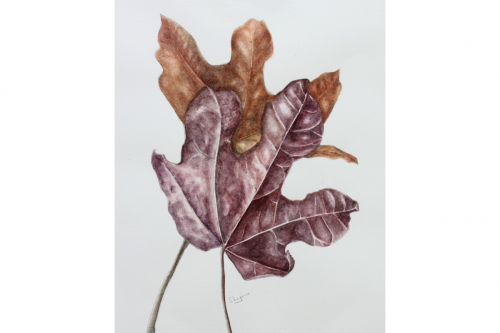 Brachychiton leaves
